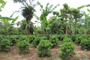 Coffee and Climate Change: How Coffee Farmers Are Helping the Planet